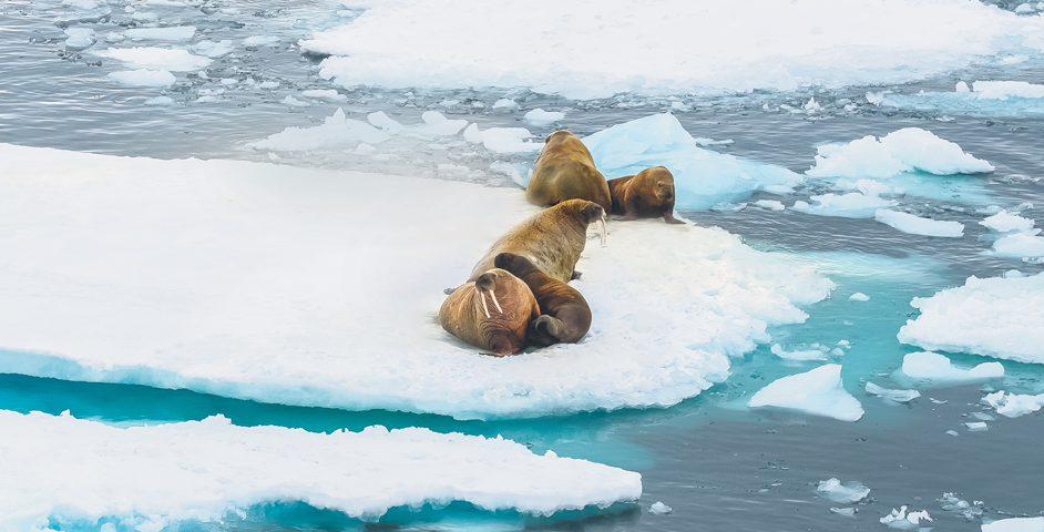 Утром нас разбудило сообщение отом, что прямо покурсу моржи, отдыхающие нальдине. Главное— неспугнуть их